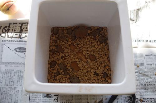 アボカド栽培鉢植え4