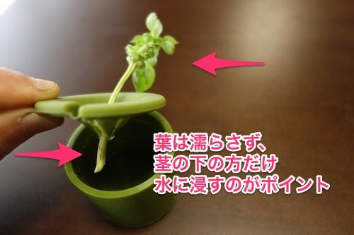 バジル水耕栽培4
