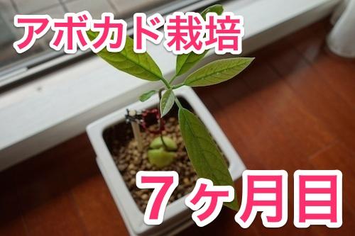 アボカド栽培_新芽2.1